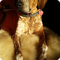 Hound (Unknown Type) Mix Dog for adoption in West Allis, Wisconsin - Della **Courtesy Cupid**