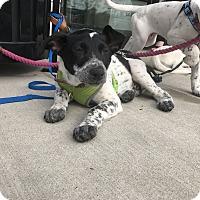 Adopt A Pet :: Irwin - Manhattan, IL