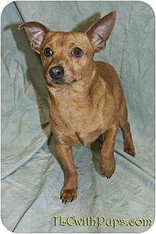 Dachshund Mix Dog for adoption in Colton, California - Maxillion