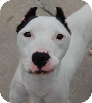 Dogo Argentino Dog for adoption in Long Beach, New York - Beauty