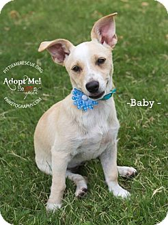 Dachshund/Chihuahua Mix Puppy for adoption in Gilbert, Arizona - Baby