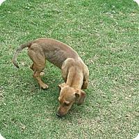 Adopt A Pet :: Ricco - Gadsden, AL