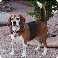 Adopt A Pet :: Chico - Phoenix, AZ