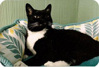 Domestic Shorthair Cat for adoption in Medway, Massachusetts - Hope