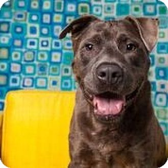 American Staffordshire Terrier/Labrador Retriever Mix Dog for adoption in Houston, Texas - Clyde