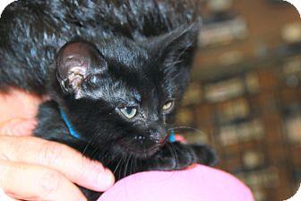 Domestic Shorthair Kitten for adoption in Rochester, Minnesota - Americano