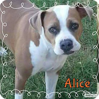 Boxer/American Pit Bull Terrier Mix Dog for adoption in Rowlett, Texas - Alice
