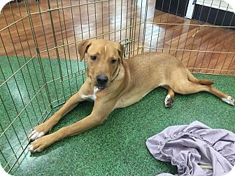 Labrador Retriever Mix Dog for adoption in Blountstown, Florida - Cobie