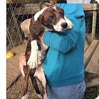 Adopt A Pet :: Dasie - Manhasset, NY