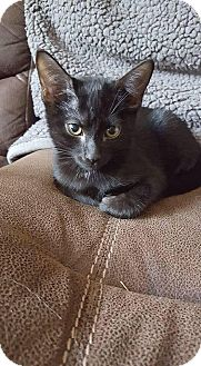 Domestic Shorthair Cat for adoption in Athens, Georgia - Daisy