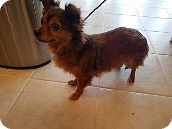 Chihuahua Dog for adoption in Chantilly, Virginia - Princess