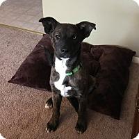Adopt A Pet :: Bear - New Oxford, PA