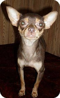 Chihuahua Dog for adoption in Chandlersville, Ohio - Holly