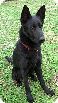 German Shepherd Dog Dog for adoption in Nashville, Tennessee - Romeo