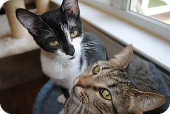 Domestic Shorthair Cat for adoption in Waxhaw, North Carolina - Itsy