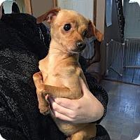 Adopt A Pet :: Ginger - Surrey, BC