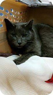 Russian Blue Cat for adoption in Mount Laurel, New Jersey - Luke Skywalker