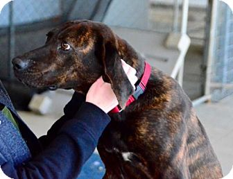 Hound (Unknown Type)/Boxer Mix Dog for adoption in Middletown, Ohio - Obey