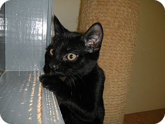 Domestic Shorthair Kitten for adoption in Milwaukee, Wisconsin - Skipper