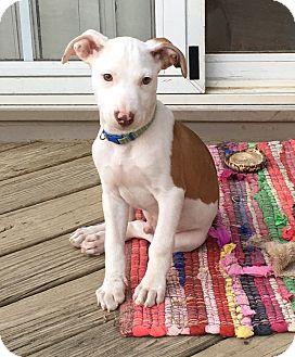 Terrier (Unknown Type, Medium)/Hound (Unknown Type) Mix Puppy for adoption in Fredericksburg, Virginia - Cajun