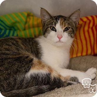 Calico Cat for adoption in Stillwater, Oklahoma - Kimber