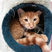 Domestic Shorthair Cat for adoption in Washingtonville, New York - Roadie