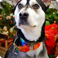 Siberian Husky/Terrier (Unknown Type, Medium) Mix Dog for adoption in Sycamore, Illinois - Liberty