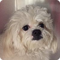 Adopt A Pet :: Juno - Canoga Park, CA