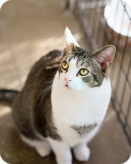 Domestic Shorthair Cat for adoption in Montclair, California - Alex