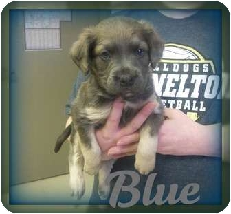 Boxer/Labradoodle Mix Puppy for adoption in Southport, North Carolina - BLUE