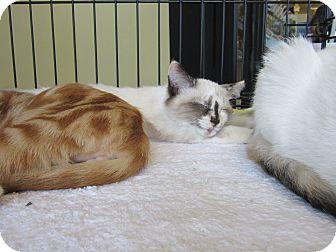 Himalayan Kitten for adoption in Easley, South Carolina - Chloe & Lola