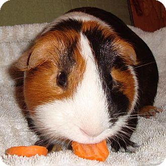 Guinea Pig for adoption in Williston, Florida - George W.