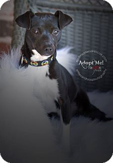 Jack Russell Terrier Mix Puppy for adoption in Groton, Massachusetts - Wednesday
