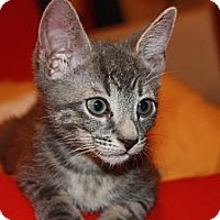 Adopt A Pet :: Nate (LE) - Little Falls, NJ