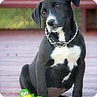 Adopt A Pet :: Snookie - Albany, NY