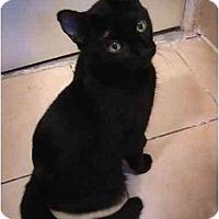 Adopt A Pet :: Molasses - New York, NY