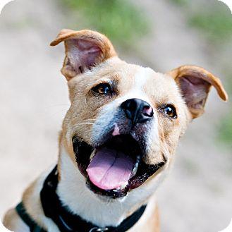 Boxer/Terrier (Unknown Type, Medium) Mix Dog for adoption in Houston, Texas - UB