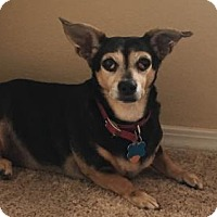 Adopt A Pet :: Lacey - Albuquerque, NM