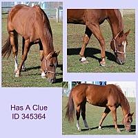 Quarterhorse for adoption in Camden, Delaware - Has A Clue (rita)