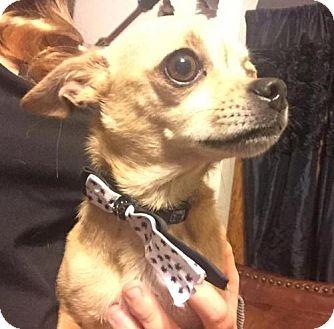 Chihuahua Dog for adoption in Lawton, Oklahoma - TITO
