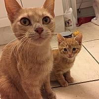 Adopt A Pet :: Pumpkin - Tampa, FL