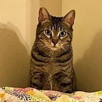 Domestic Shorthair Cat for adoption in San Jose, California - Tiffany