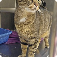 Adopt A Pet :: B-5 Tiger - Triadelphia, WV