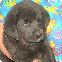 Adopt A Pet :: Kobe - Westport, CT