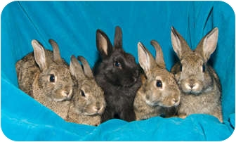 American Mix for adoption in Los Angeles, California - Five baby bunnies