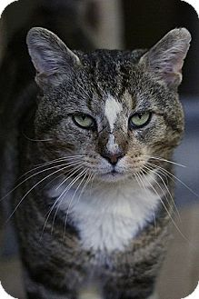 Domestic Shorthair Cat for adoption in Columbia, Maryland - Benny