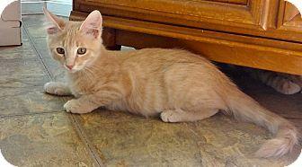 Domestic Mediumhair Kitten for adoption in Escondido, California - Abraham