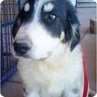 Adopt A Pet :: Barney - Gilbert, AZ