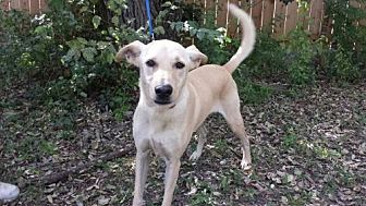 Golden Retriever Mix Dog for adoption in Olympia, Washington - Caspian