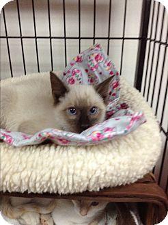 Siamese Kitten for adoption in Tehachapi, California - Ming